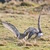 Scandinavian birds,<br /> Waders