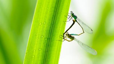 Ischnura elegans - Stor farvevandnymfe - Större kustflickslända