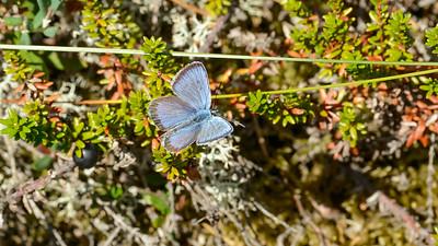 Formodentlig Plebejus idas, Foranderlig blåfugl, han - Hedblåvinge