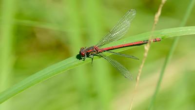 Pyrrhosoma nymphula - Rød vandnymfe, han - Röd flickslända
