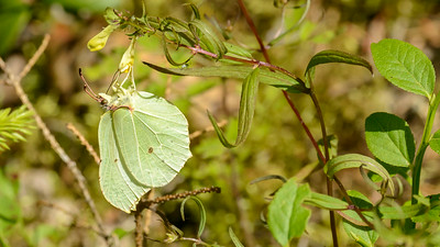Gonopteryx rhamni - Citronsommerfugl, hun