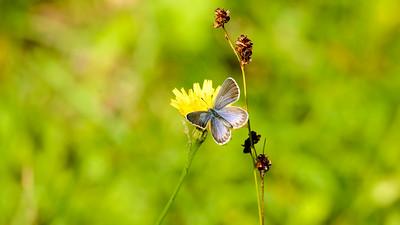 Plebejus idas - Foranderlig blåfugl, hun - Hedblåvinge