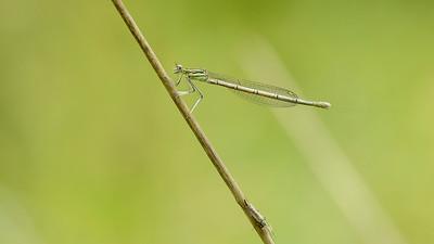 Platycnemis. pennipes - Fjerbenet vandnymfe, hun - Flodflickslända