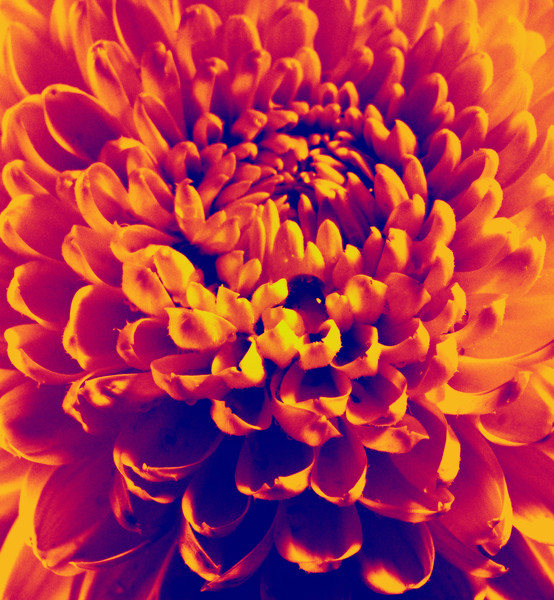 Dahlia flower infrared thermal scanned closeup photo