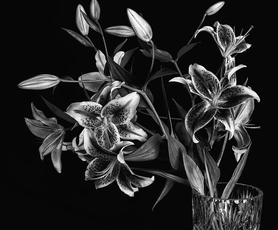 2018-07-26 Stargazer lilies