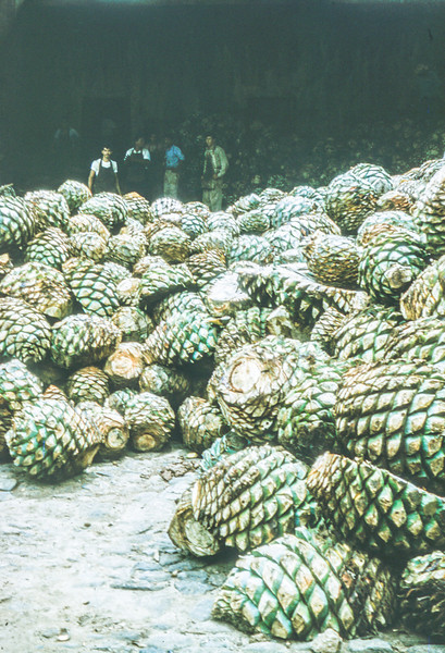 1961-08 Mexico - agave
