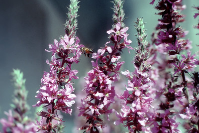 Bee in Some Flowers