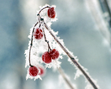 Frozen berries in the Mill Creek Ravine - Edmonton, Alberta