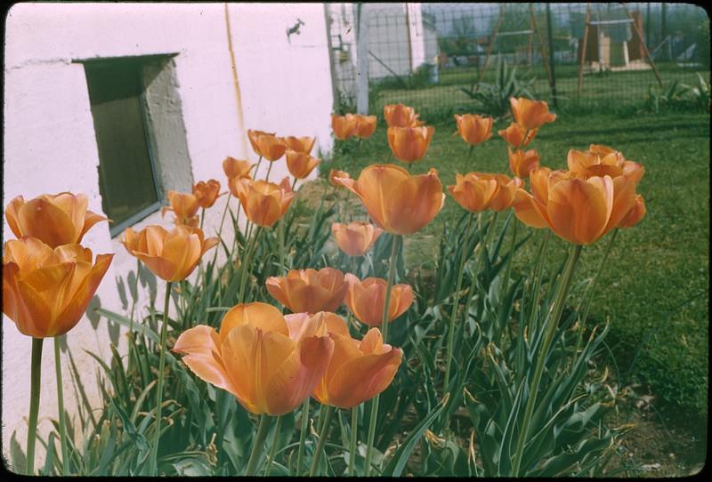 """5/8/1955 """"Tulips, 420 Mertland Ave, Dayton, Ohio"""" 35mm Kodachrome slide Mount dated March 1981 (remounted?) Stamped #11"""