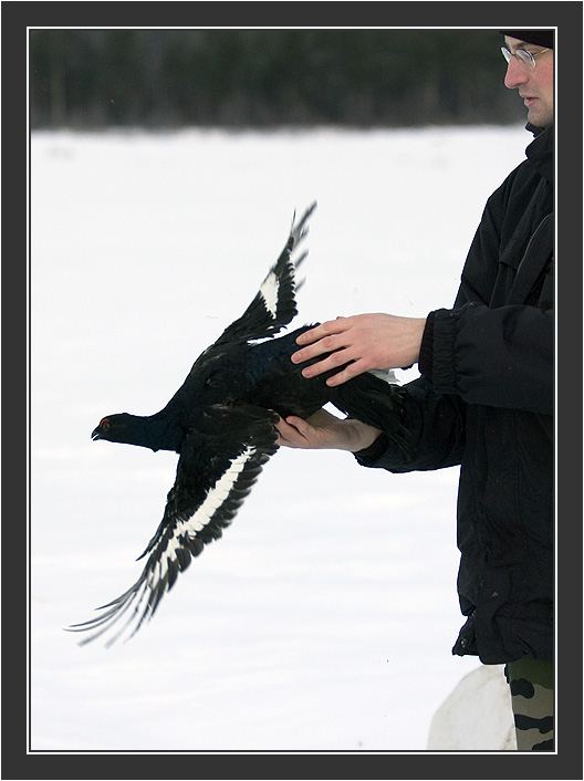 Christophe releasing male<br /> <br /> Cannon net capturing in Koskenpää, February 2005.