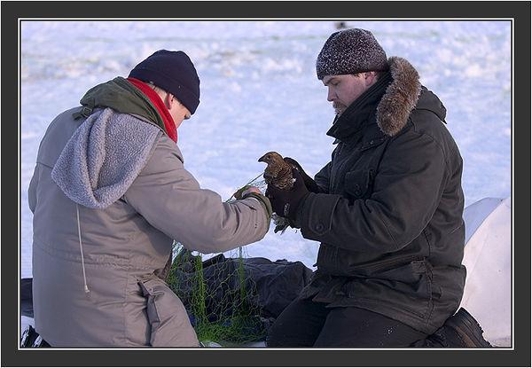 Matti & Gilu releasing hen from net.  <br /> <br /> Cannon net capturing in Koskenpää, February 2005.
