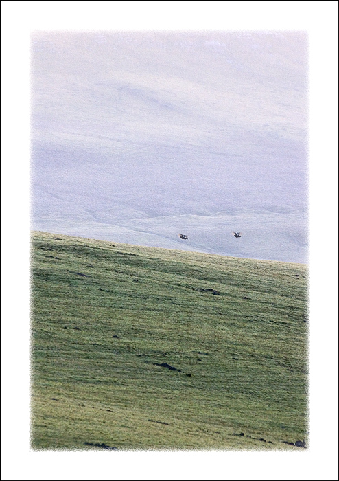 Two male Black Grouse, and no trees!