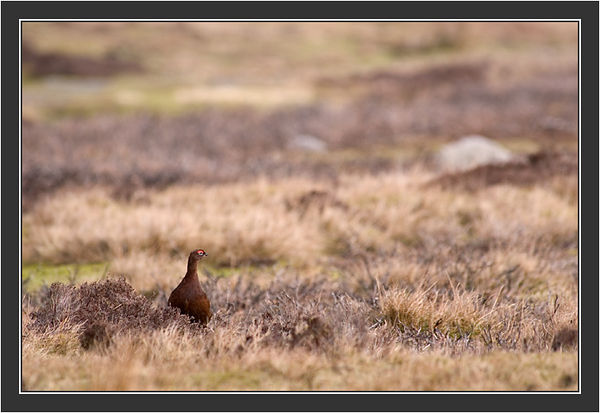 Red Grouse - North pennines