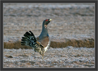 2005-04-25 Capercaillie meets Black Grouse