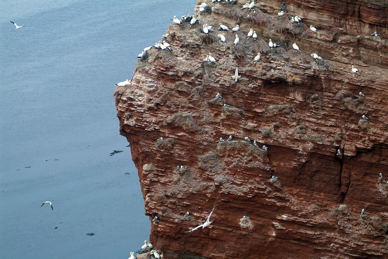 Another Gannet hung up in the fishing net (the one looking like a cross)