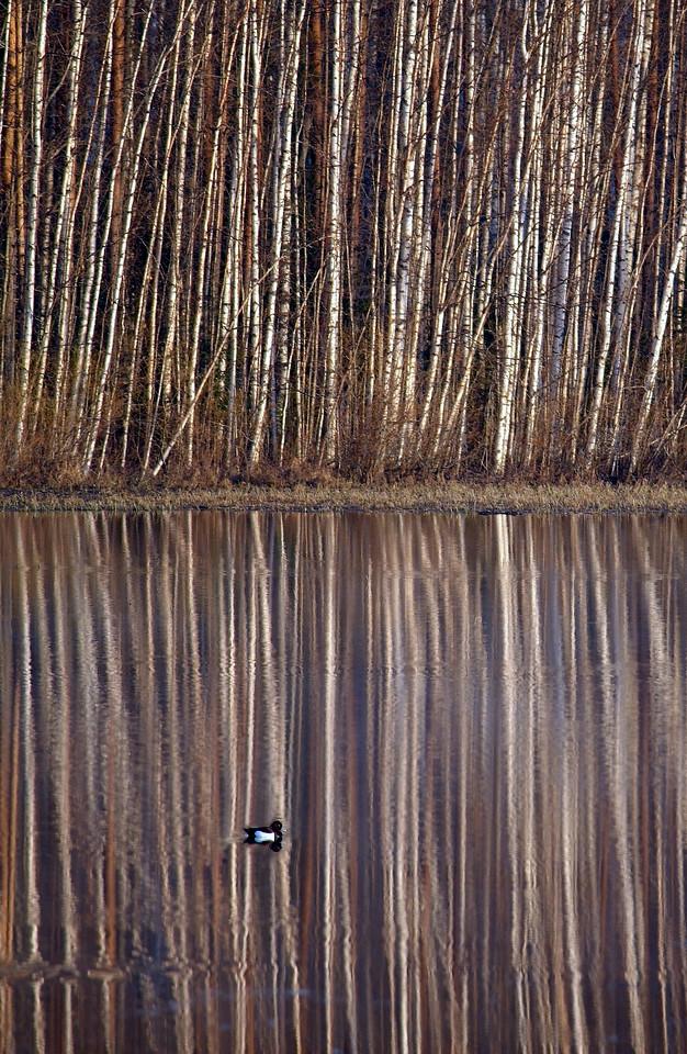 2006/18. Birch reflections & tufted duck. Leväsenlampi, Hankasalmi.