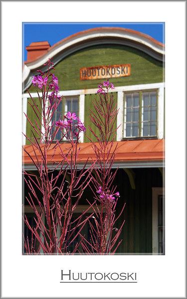 Epilobium angustifolium, a pioneer plant.