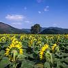Summer Sunflowers of Pocheon