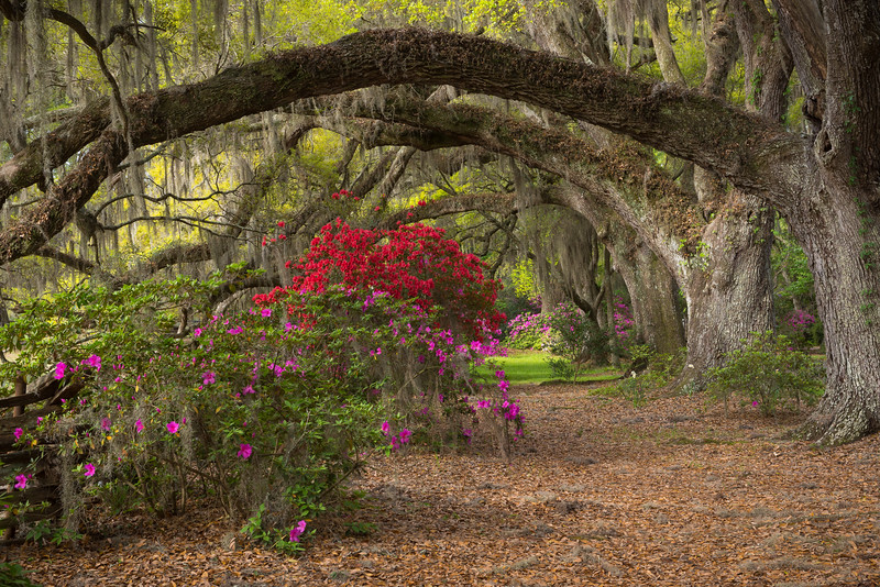 Live Oak and Azalea Alley