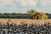 Delta Barn and Cotton