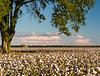 Delta Cotton