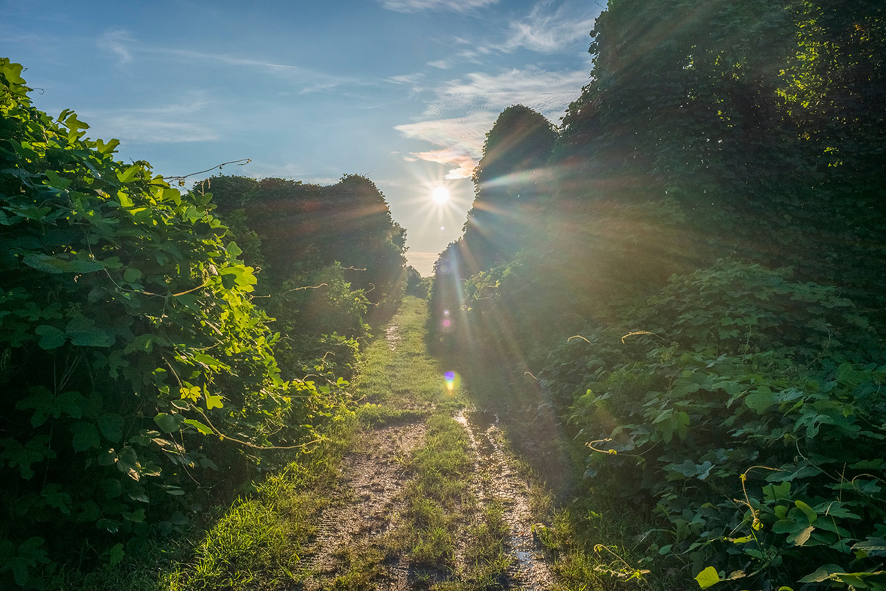 Sunset On Kudzu Path