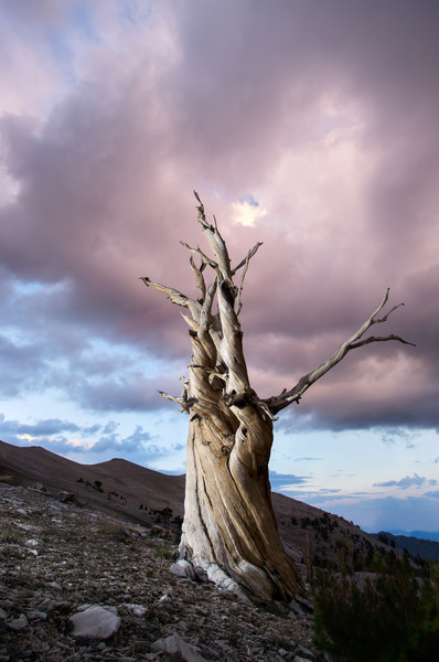 Bristlecone Before the Storm