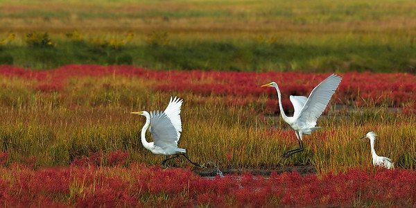 _JFF0084 Egrets and Glasswort in Fall Marsh ~ Plum Island Newbury MA