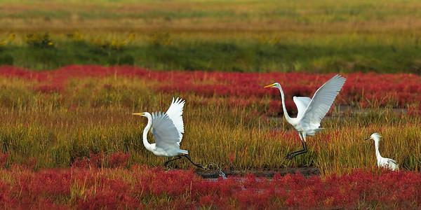 _JFF0084 Egrets and Glasswort in Fall Marsh ~ Plum Island Newbury MA
