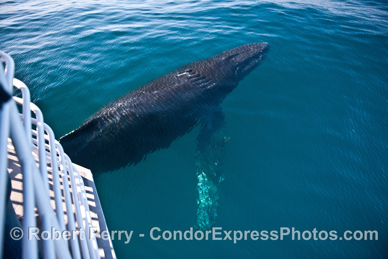 Scarlet, the humpback whale, hangs nearly motionless off the bow of the boat