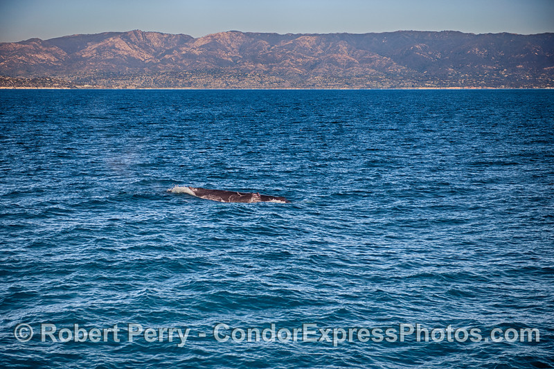 The Santa Ynez mountains and city of Santa Barbara are seen in the background behind Scarlet the humpback whale.