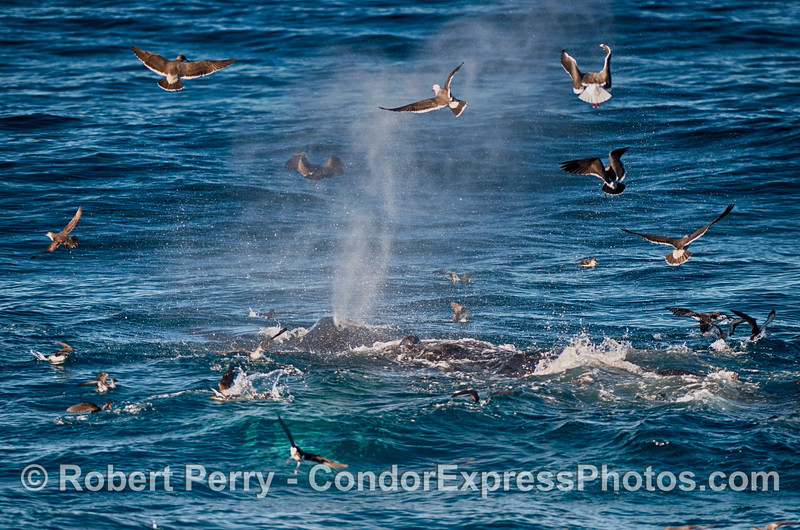 Image 2 of 2 in a row:  Gulls and shearwaters encircle a humpback whale blast.