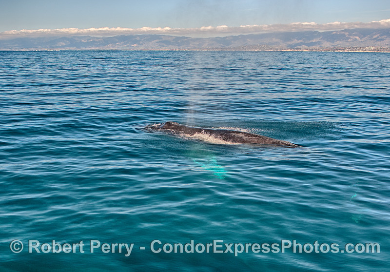 Humpback whale with the Santa Barbara coastline in back.