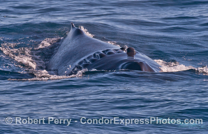 Image 2 of 2 in a row: Scarlet the humpback whale heads directly for the camera.  The propeller scar behind her blowholes is clearly visible.