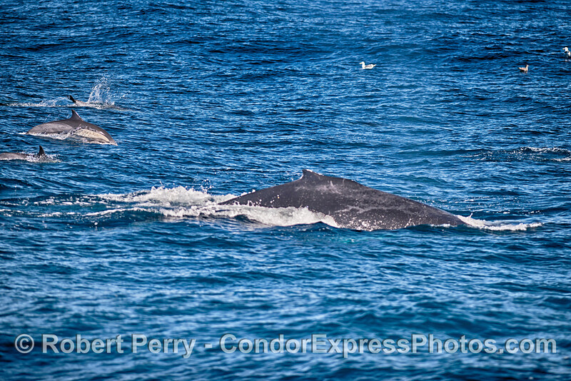 Cetaceans of all sizes riding an open ocean swell:   Long-beaked common dolphins and a humpback whale.