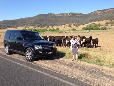 A short (600km) drive in the country to break-in the new Discovery and introduce Scarlett to some real cows - Feb 2014 (23 months old)