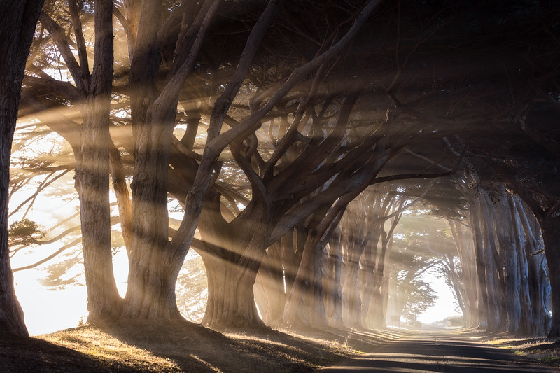 Luck played a huge role in getting this image. Though I have visited the Point Reyes cypress tunnel a number of times, many were during childhood. I knew the conditions necessary for getting this shot and for years I had imagined I'd be there to take it. On this morning, it was not looking entirely promising. The morning fog wasn't as low as I'd hoped and it did appear as if the skies were opening up. However I only had one night in the area and I was intent on at least giving it a try. Determination paid off and only about 30 minutes or so after the sunrise, the fog was thick and the light was just strong enough to light it up. This has to be one of my most dramatic images involving strong light.