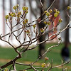 Springtime on campus: dogwoods budding out in front of the Morris House (Payne and Washington Halls behind).