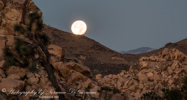 Joshua Tree under Full-Moon