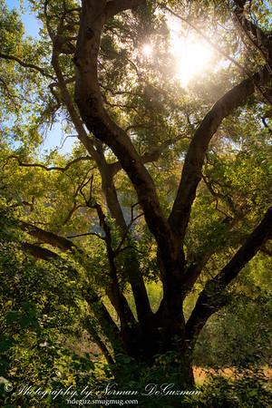 Aged Live Oak