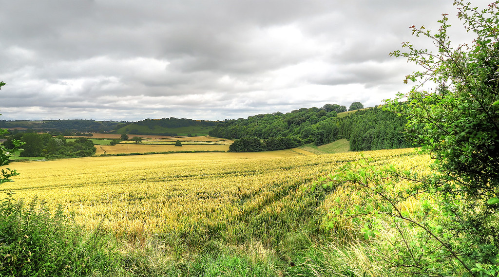 Corn fields at Higher Melcombe Farm