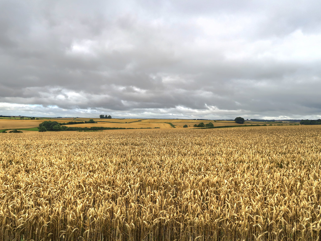 Fields of wheat (here) and barley almost ripe and waiting for the harvest.