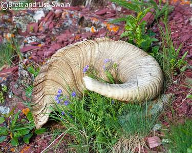 Circle of Life-Ram's Horn