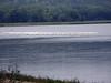 486 American Pelican flock, Lake Pepin