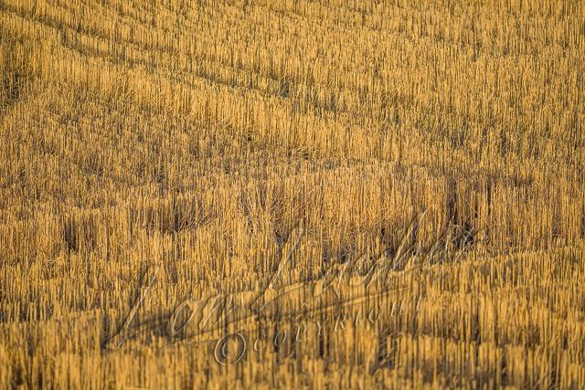 Scenery, agriculture, cut wheat field