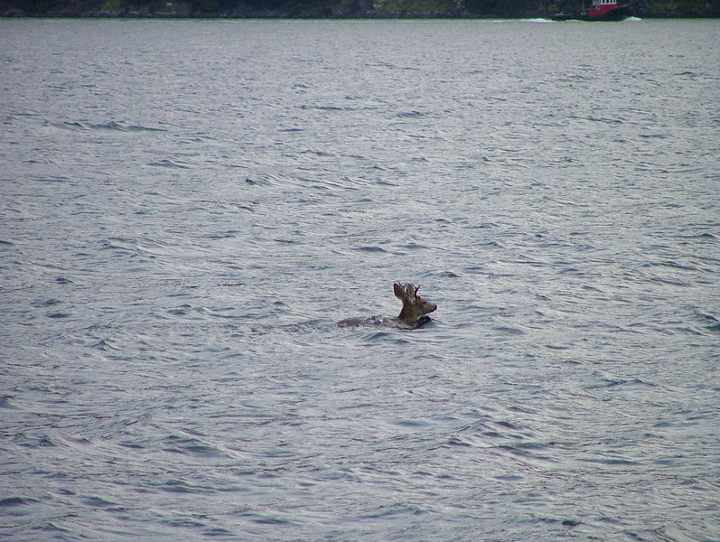White tail deer (buck)  They are very efficent swimmers.