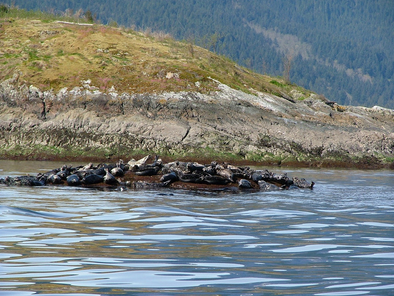 Harbour seal colony.