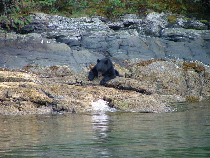 Black bear - eating oysters and barnacles