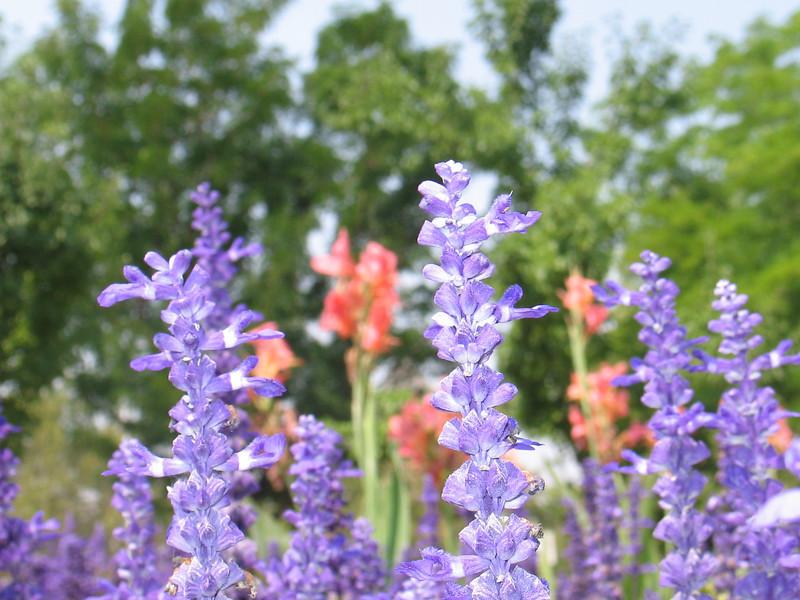 Beautiful_Flowers_at_BYU_1483.JPG