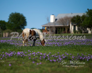 horse paint blue bonnet house-8X10_6083